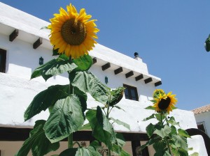 casita _ sunflowers