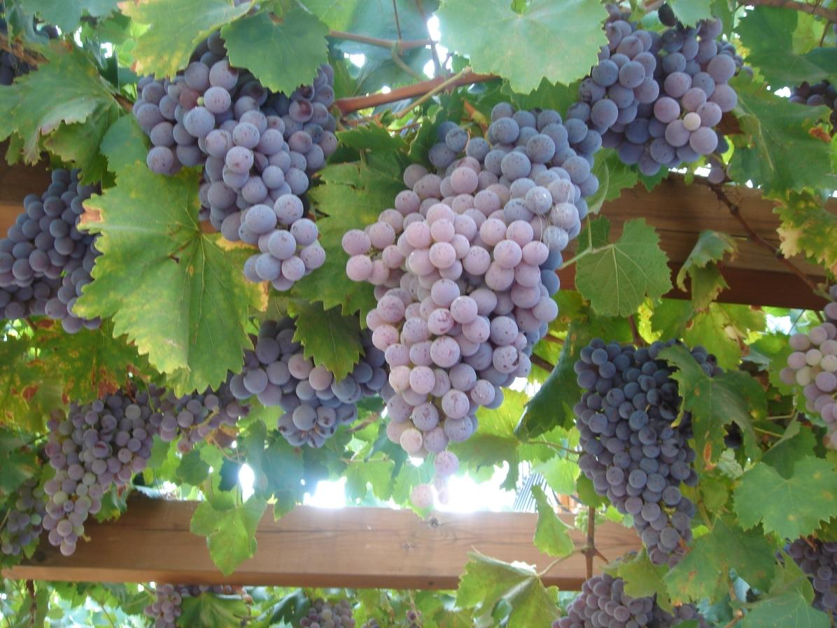 Grape Vine, Las Piedras